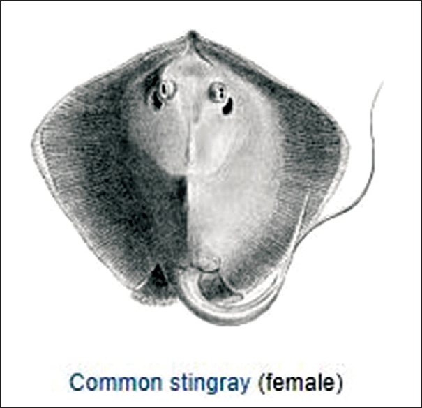 Figure 1: Common stingray (Source – Wikipedia, scientific classification Kingdom – Animalia, phylum – Chordata, class – Chondrichthyes order – myliobatiformes, subo)